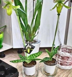 Орхидея зеленая пафиопедилюм Венерин Башмачок