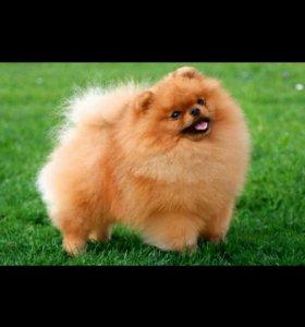 Покупаю помиранского щенка шпиц