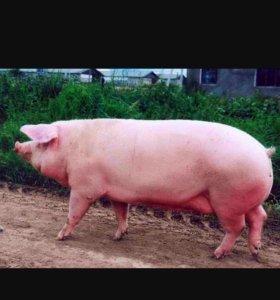 Мясо (свинина домашняя)