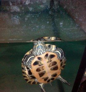 Черепахи 89203307968