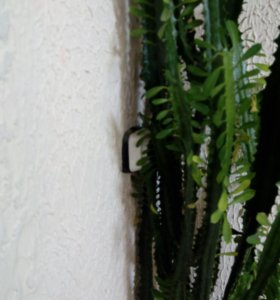 Кактус, растение.