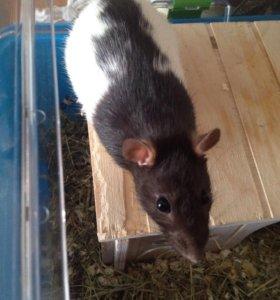 Домашняя крыска с клеткой за 1500р.
