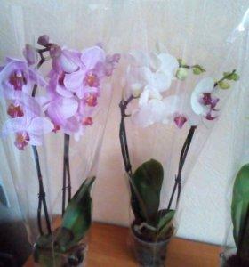 Орхидеи в наличии в Мичуринске.