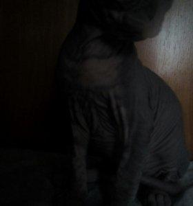 Кот свинкс