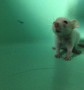 Декоративные крысы, сиамские