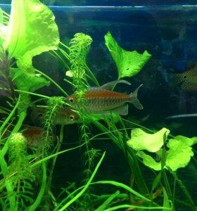 Рыбки Конго,гурами золотые,голубые.