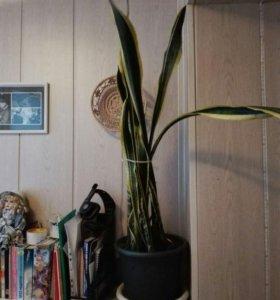 Комнатный цветок Сансевиерия (Тёщин язык)