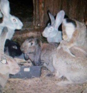 Кролики 89181634354
