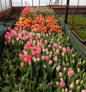 Тюльпаны к 8 марта в собственной теплице.
