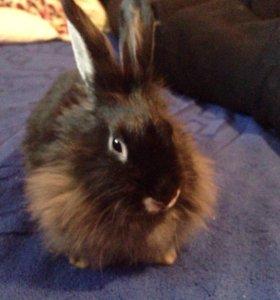 Кролик декоративныйхНальчик