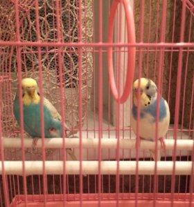 2 попугая вместе с клеткой за 2500