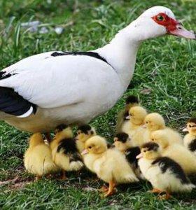 Продаю домашнюю птицу (индоутки)