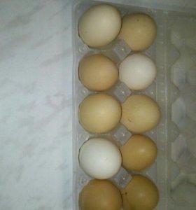 Яйцо кур домашних