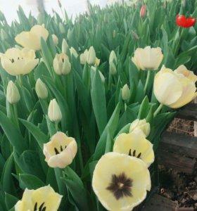 Тюльпан к 8марта оптом