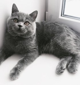 Чистокровный Британский кот на вязку