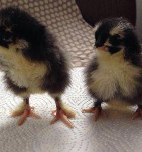 Цыплята, яйцо инкубационное