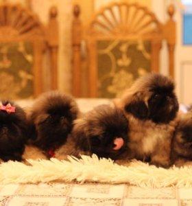 Продаются щенки пекинеса