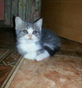 Шотландский котёнок