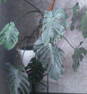 Продам монстеру , дифенбахию, долларовое дерево
