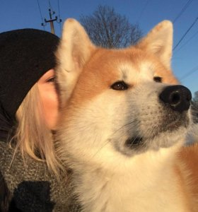 Серьёзный пёс Акита-Ину ищет невесту.