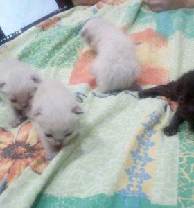 Отдам сиамских котят и одного черного