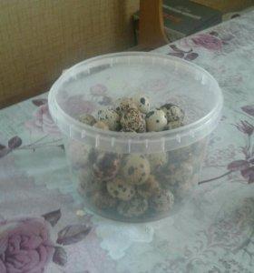 Перепелиные яйца для инкубации