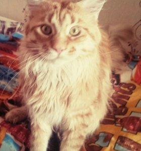 Кот, Мейн Кун