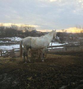 Лошадь жеребец 5-й год идёт