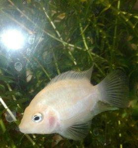 Рыбки цихлазома