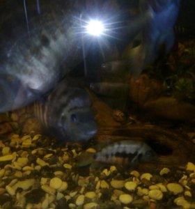 Рыбки цихлиды чернополосые