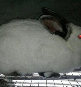 Кролики колифорнийской породы
