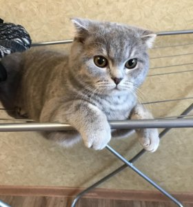 Кот скотиш-фолд