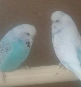 Выставочные волнистые попугаи ввп чехи