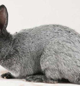 Кролики породы 'Серебро' в Северном.