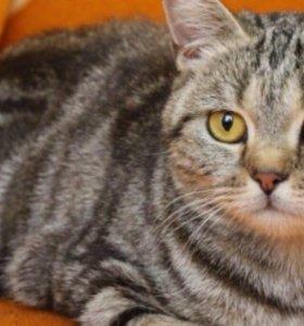 Вязка с короткошерстным котом