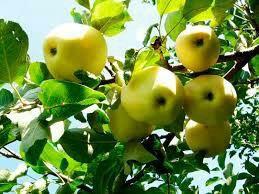 Саженцы плодовых деревьев!