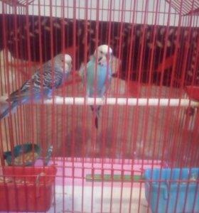 Продам состаявшую пару попугаев