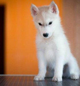 Красивые щенки с отличной родословной