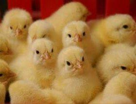 Цыпленок бройлерный!Кобб-500🐤🐥🐔🐓