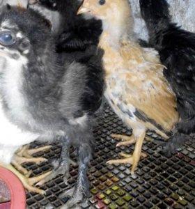 Деревенские цыплята