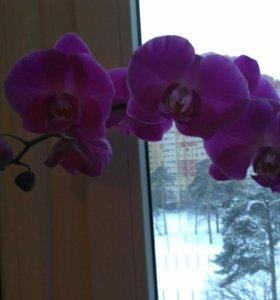 Орхидея большая фиолетовая