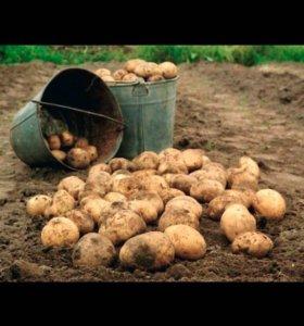 Картошка местная