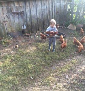 Мясо домашних цыплят-бройлеров