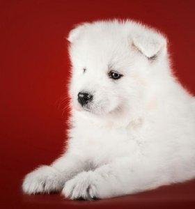 Собака-друг: умная и милая девочка-самоед
