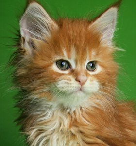 Шикарные котята Мейн кун с документами