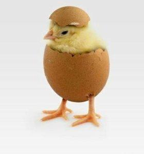 Куриное Инкубационное яйцо, цыплята