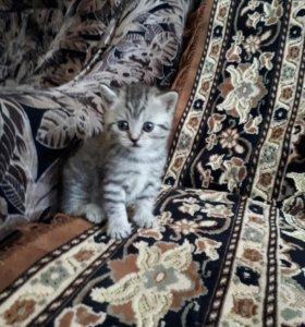 Продаю британских котят мальчика и девочку