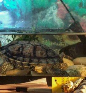 Черепаха громовержец