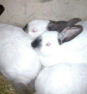 Калифорнийские крольки