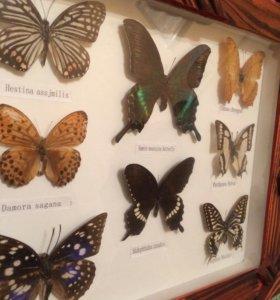 Коллекция экзотических бабочек